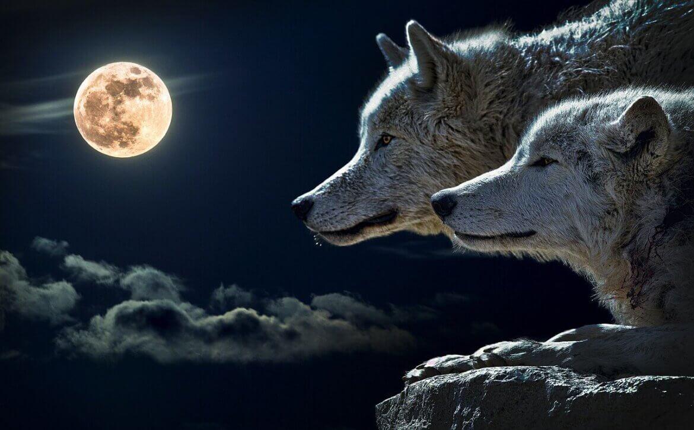 Farkassal álmodni mit jelent?