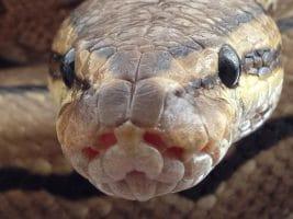 Kígyóval álmodni
