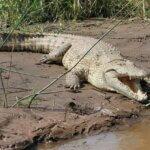 Krokodillal álmodni mit jelent?