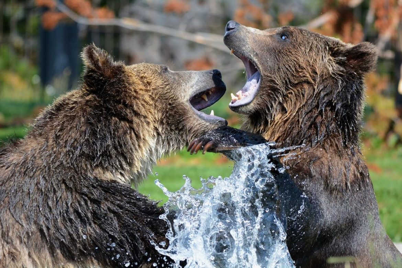 Medvével álmodni, mit jelent?