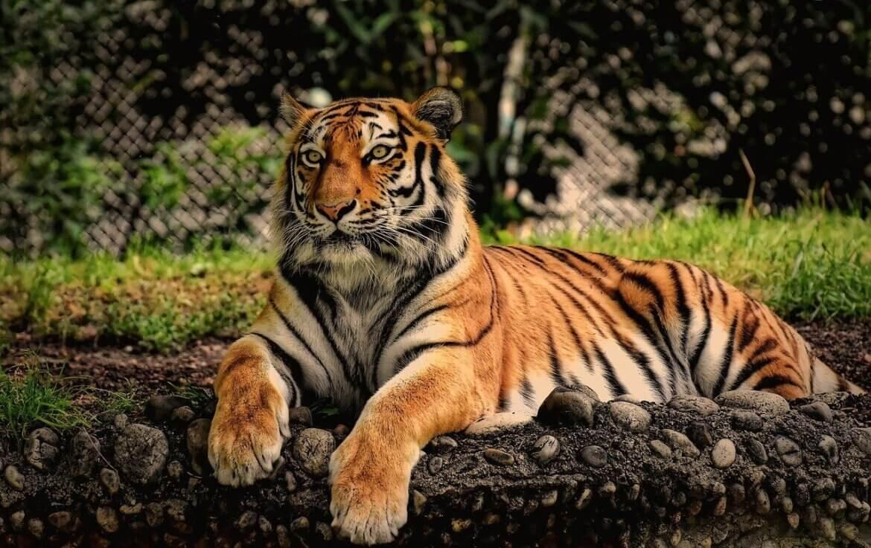 Tigrissel álmodni