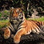Tigrissel álmodni: életerő, totem, lélekállat